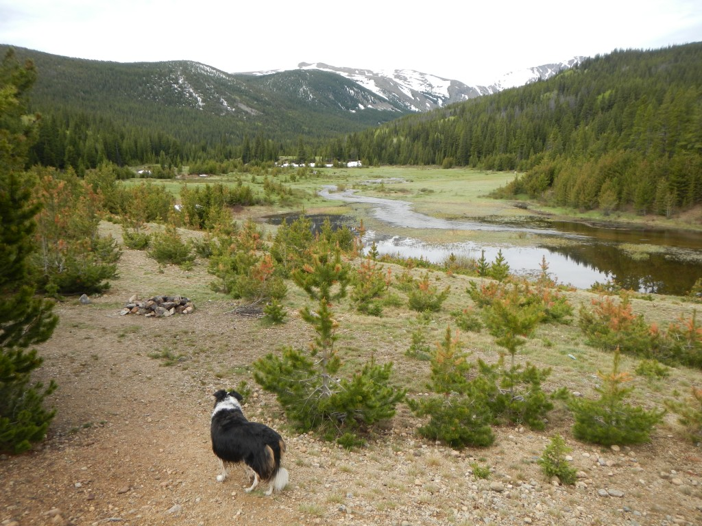 Fremont Border Collie Colorado