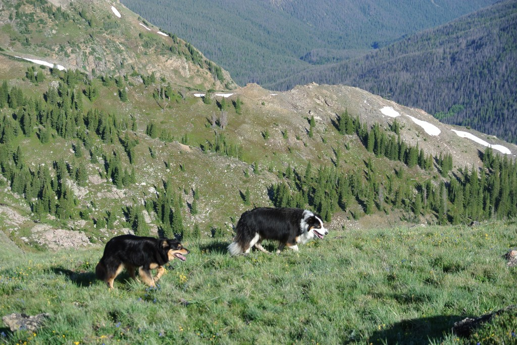 Mystic and fremont colorado border collies