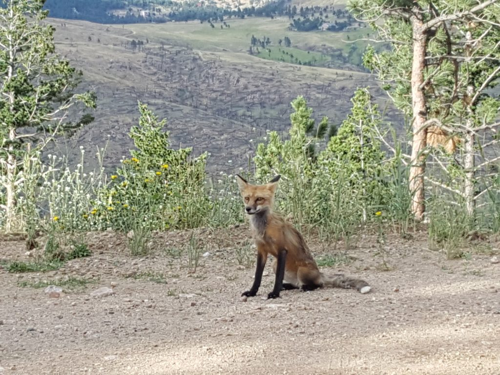Boulder Colorado red fox